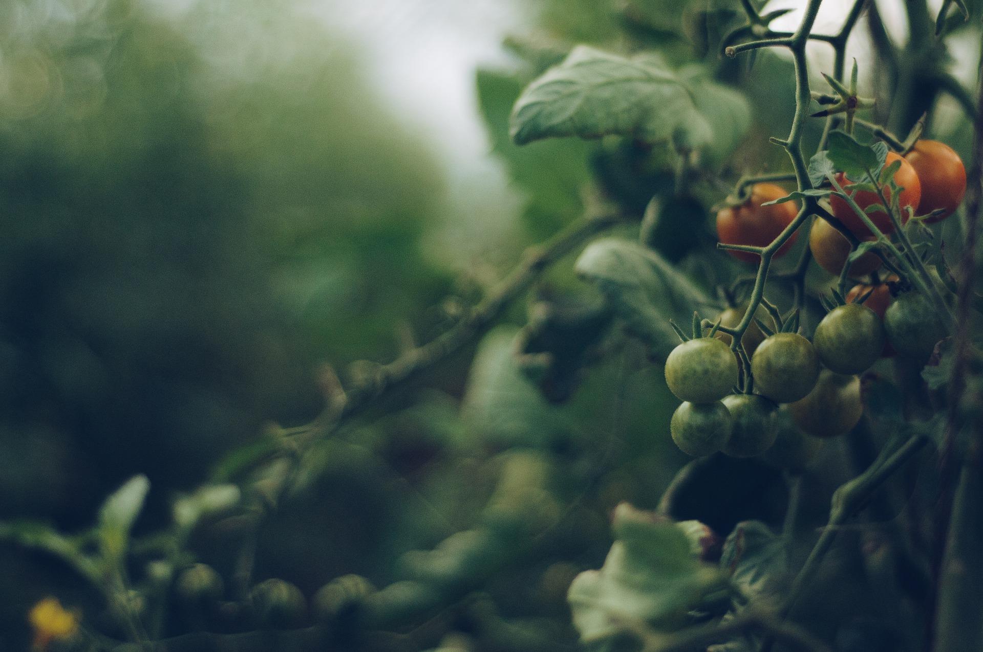 Baba da je živa znala bi zašto ne zri paradajz